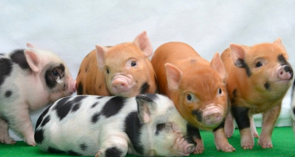 Animal bars craze - The Pignic
