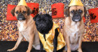 The Pen & Pencil are celebrating Chinese New Year of the Dog with a Pug Cafe pop-up!