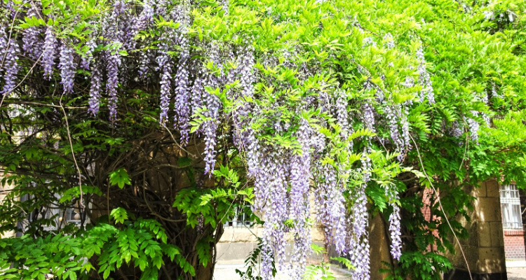 Where to see wisteria in London