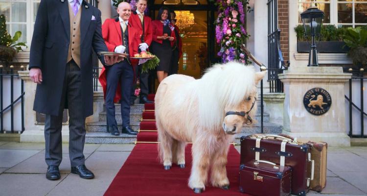 Teddy the Shetland Pony, The Goring Hotel In London   DesignMyNight
